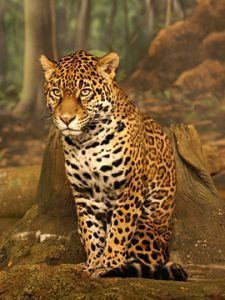 270px-Jaguar_sitting_small