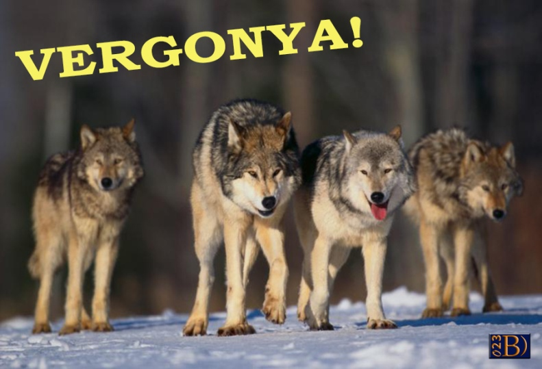 Como-cazan-las-manadas-de-lobos-a-sus-presa